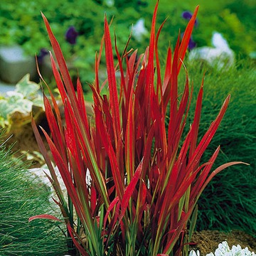 Trawy ozdobne red baron